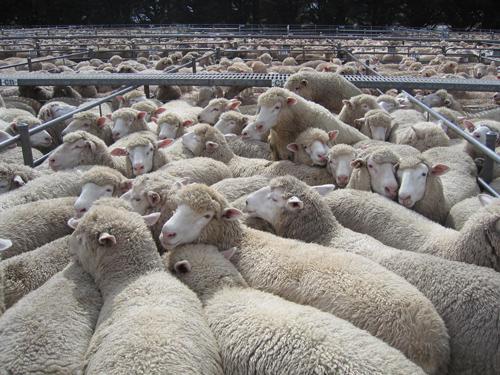 Sucker lambs