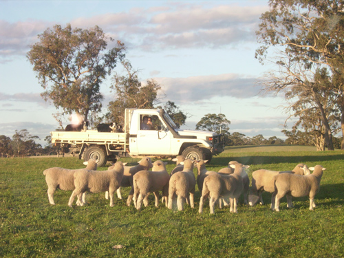 Just weaned ram lambs with fully recovered data